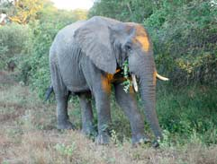 Local Travel: Thrilling Thornybush